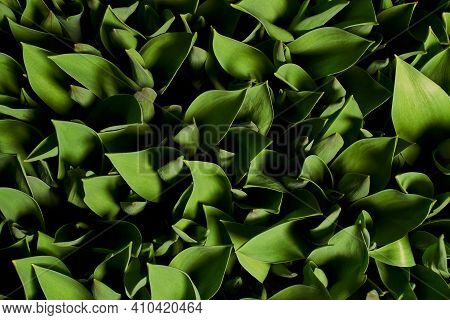Green Leafy Background. Beautiful Background Of Tulip Leaves With Deep Shadows. View From Above