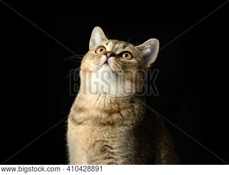 Portrait Of A Gray Kitten Scottish Straight Chinchilla On A Black Background, The Cat Looks Up
