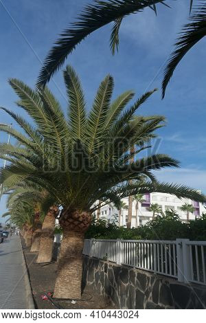 Palm Trees In Gran Canaria. Avenue Of Palm Trees On A Street In Gran Canaria