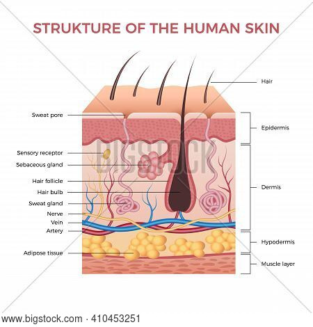 Skin Anatomy. Human Normal Skin Dermis Epidermis Adipose Layers Recent Vector Biological Infographic