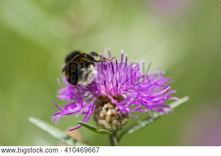 Bumblebee On Pink Centaurea Jacea Flower, Back View, Close-up. Bumblebee Pollinating A Pink Flower,