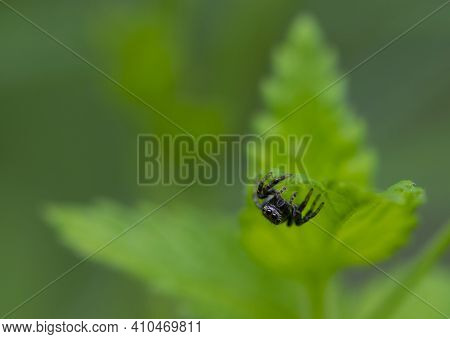 Salticidae. Spider With Big Eyes On A Green Leaf. Jumping Spider Salticidae, Sitting In The Grass A