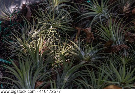 Beautiful Gray Green Plants Of Tillandsia Or Air Plant In The Botanical Garden. Flowering Plant, Sel