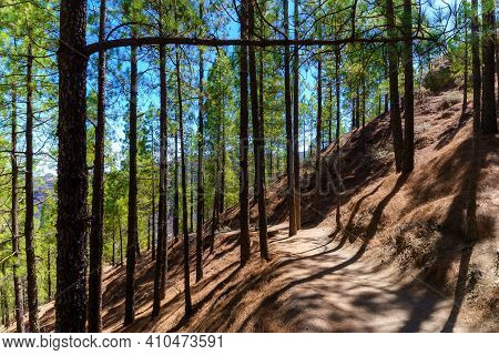 Path In The Forest Between Pine Trees In The Roque Nublo National Park On The Canary Island Of Gran