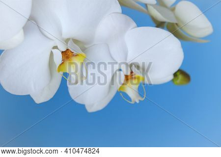 Orchid Flower.phalaenopsis.white Exotic Flowers Close-up On Bright Blue Background.houseplants And F