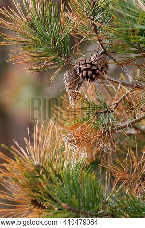 Close Up Of A Pine Tree Branch Showing Needles And Pinecones