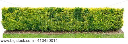 Variegated Golden Euonymus Japonicus Or Evergreen Spindle Bush Hedge Isolated On White