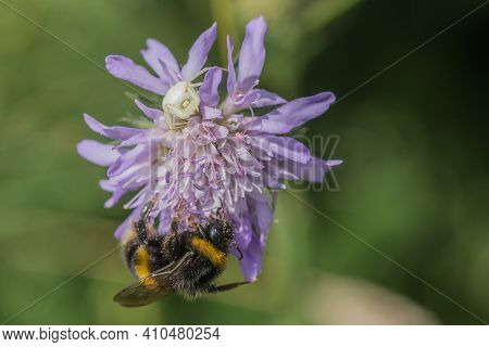 Bumblebee And Comb-footed Spider On Wild Scabious Flower Head