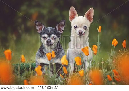 cute chihuahuas in a field of California poppies toned with a retro vintage filter
