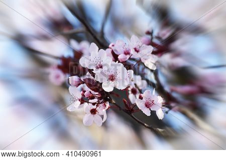 Beautiful Cherry Blossoms Blossoming In Early Spring With Zoom Burst Effect