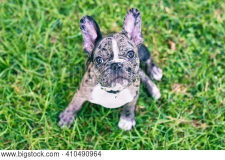 Beautiful puppy spotted french bulldog happy at the park outdoors