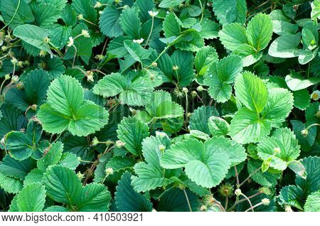 Flowering Bushes Of Strawberries On A Strawberry Field In A Farm. Organic Farming. Bush Of Strawberr