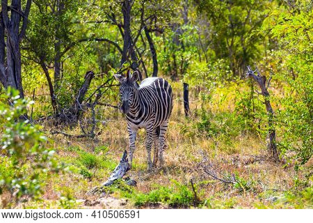 The famous Kruger Park. Savannah Zebra lives in southern Africa. South Africa. Animals live and move freely in the  savannah. The concept of ecological, active, exotic, and photo tourism