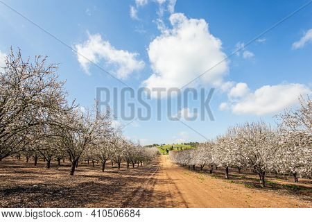 Sunny warm spring day in February. Grove of almond trees in spring bloom. Picturesque alley of flowering almond trees. Israel. Light white clouds in the blue sky.
