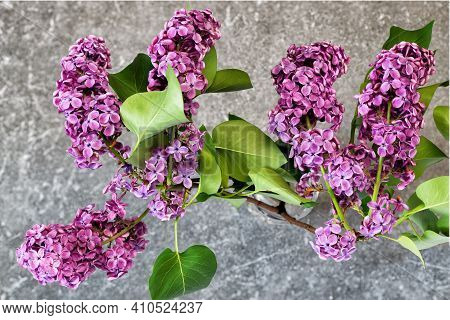 Branches Of Lilac Flowers On A Kitchen Countertop In Antique Gray Granite