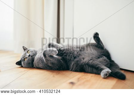 British cat lying relaxed and confident on the floor at home. British shorthair breed portrait