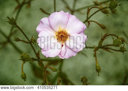 First Blossom Of A Rose Hip Pink Plant. Macro Photo Nature Blooming Bud Dog Rose. Background Of Open