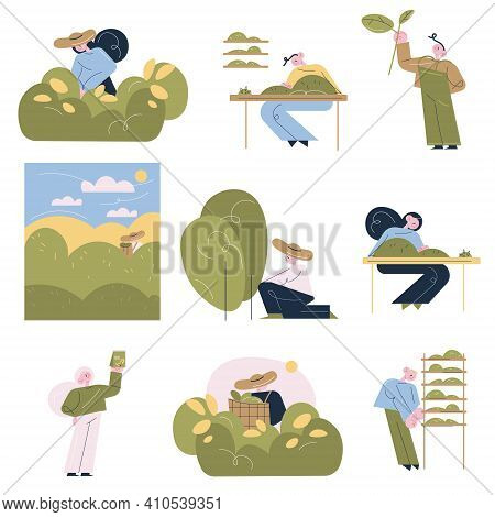 People Workers Picking Tea Leaves And Making Tea For Sale At Tea Production Manufacture