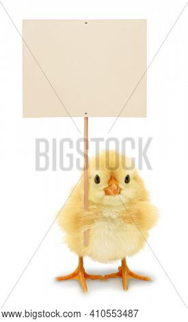 Cute chick is holding blank white sign placard funny conceptual photo