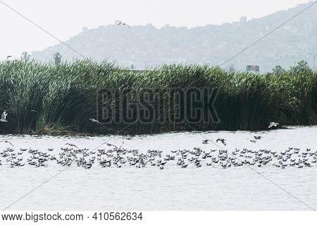 Birds In The Pantanos De Villa Swamp Of Villa , Chorrillos, Lima Peru