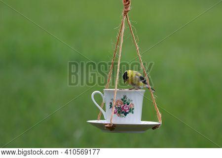 An American Goldfinch Bird Perches On A Teacup Bird Feeder
