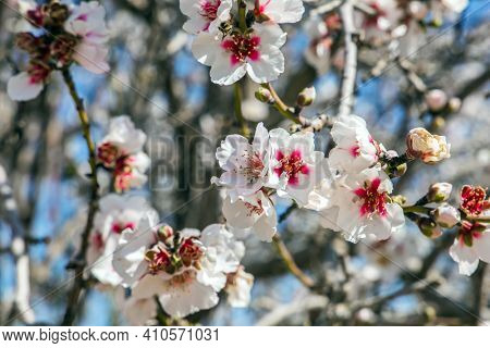 Blossoming almond branches. White and pink almond flowers decorate the trees. Magnificent almond blossom garden. Early spring in Israel.