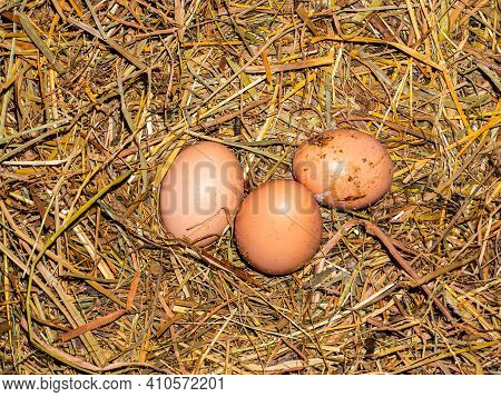Three Chicken Eggs In The Hay, Laid By A Hen.