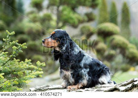 Outdoor Portrait Of Sitting English Cocker Spaniel, European Champion, Breeding Station