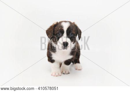 Welsh Corgi Cardigan Puppy One Month Isolated On White Background.