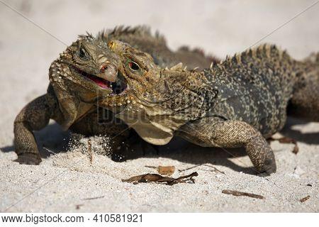 Cuban Rock Iguana (cyclura Nubila), Also Known As The Cuban Ground Iguana Or Cuban Iguana Fighting O