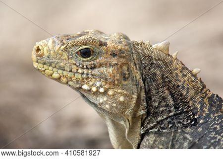 The Cuban Rock Iguana (cyclura Nubila), Also Known As The Cuban Ground Iguana Or Cuban Iguana, Portr