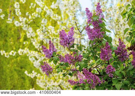 Lilac Blossom In The Garden. Beautiful Nature Background In Spring On A Sunny Day. Bunch Of Purple P