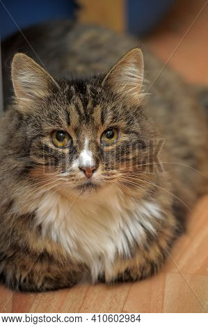 Beautiful Brown Fluffy Norwegian Forest Catclose Up