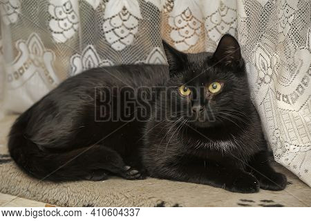 The Domestic Sleek-haired Cat Lies Close Up