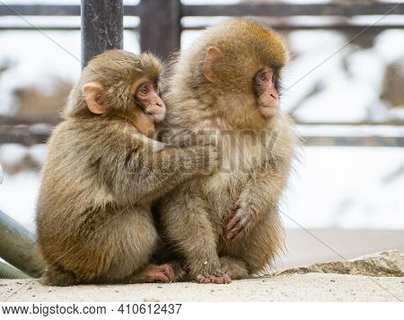 A Pair Of Young Japanese Macaques Or Snow Monkeys, Macaca Fuscata, Sit Together On The Rocks Beside