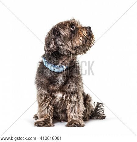 Crossbreed dog wearing a blue collar, looking up, sitting, isolated