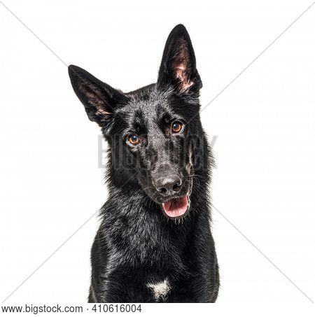 Portrait of a black german Shepherd panting and looking at the camera