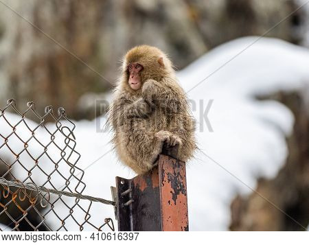 A Young Japanese Macaques Or Snow Monkeys, Macaca Fuscata, Sits On A Fence Post Near The Hot Springs