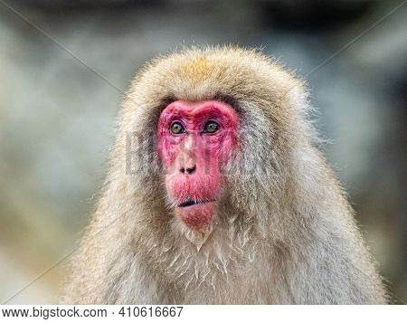 A Japanese Macaque Or Snow Monkey, Macaca Fuscata, Sits On The Rocks Beside The Hot Springs In Jigok
