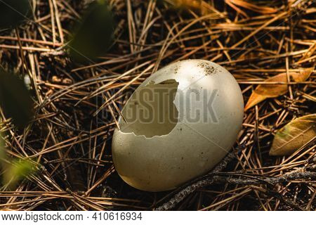 Broken Bird Egg On The Forest Floor, After A Chick Had Abandoned It. Concept Of Home, Abandonment Or