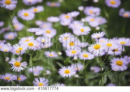 Summer Meadow With Blooming Daisy-like Flowers. Small-petalled Garden Flowers On A Lawn On A Warm Su