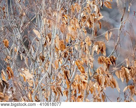 A Siberian Meadow Bunting, Emberiza Cioides, Perches In A Bare Tree In Winter Beside The Road From J