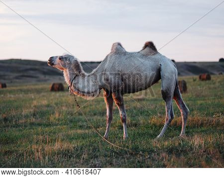 A Camel With Two Humps Walks Tax In The Mountains In Full Growth Fresh Air