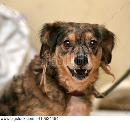 Funny Brown Pooch Dog