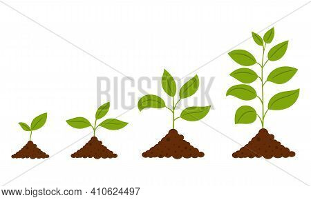 Gradual Growth Of The Plant. The Scheme From The Sprout To The Adult Plant. A Simple Deciduous Plant