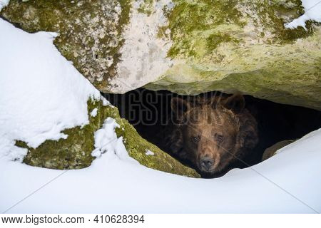 Brown Bear (ursus Arctos) Looks Out Of Its Den In The Woods Under A Large Rock In Winter