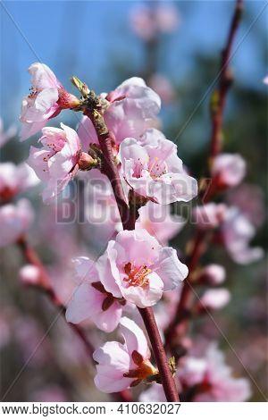 Nectarine Nectagrand 4 Flowers - Latin Name - Prunus Persica Var. Nucipersica Nectagrand 4