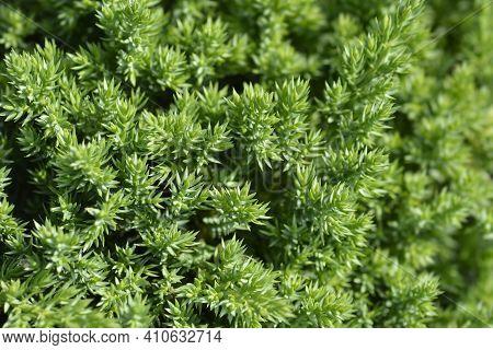 Dwarf Japanese Garden Juniper - Latin Name - Juniperus Procumbens Nana