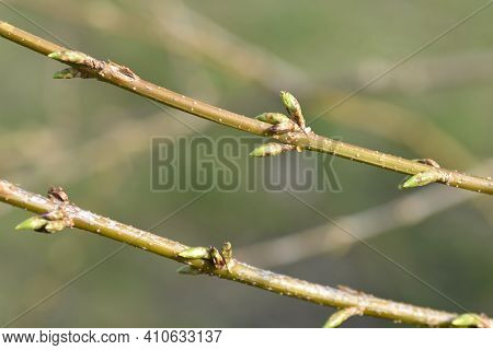 Weeping Forsythia Branches With Flower Buds - Latin Name - Forsythia Suspensa