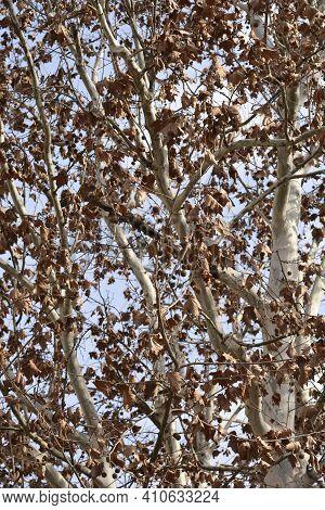 London Plane - Latin Name - Platanus X Hispanica (platanus X Acerifolia)